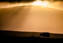 Sheep And Sunset - Isle Of Man
