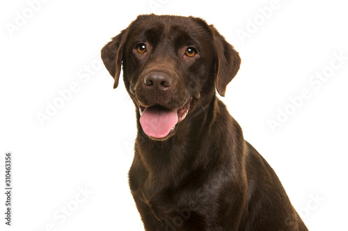 Portrait of a chocolate labrador retriever looking at the camera isolated on a w Canvas Print