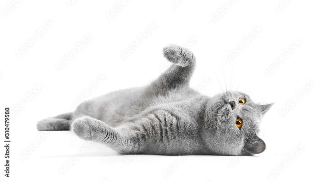Fototapeta Cat with a playful mood on isolation