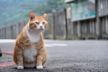 Portrait Of Orange Cat Siting And Looking For Somting With Houtong Cat Village Background