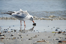 Seagull Feasts On A Mussel On ...
