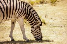 Zebra Grazing In South Africa ...