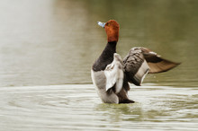 Redhead Duck In A Small Pond I...