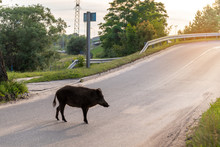 Wild Boar Walk On The Street I...