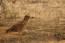 Spotted Thick Knee (Burhinus Capensis) Sitting In Dry Grass.