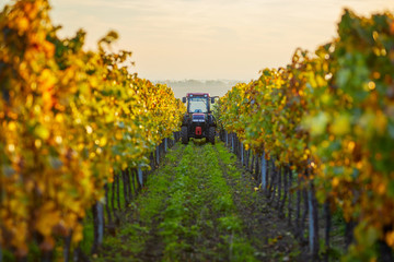 Autumn rows of vineyards with tractor