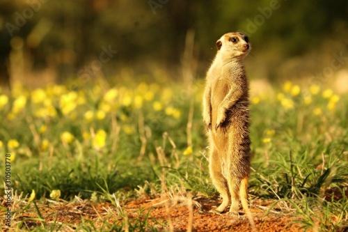 Photo  Meerkat (Suricata suricatta) Timon in Kalahari desert staying on red sand close to burrow watching around