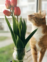 Red Cat And Tulips In A Vase On A Window Background