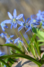 Pale Blue Florets Of Siberian ...