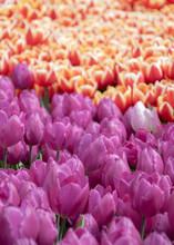 Tulip Flower Full Frame  Red Y...