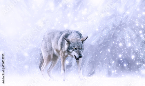 Naklejki wilk  christmas-portrait-of-fabulous-grinning-gray-wolf-canis-lupus-ready-to-attack-on-fairytale-winter-snow-background-with-snowfall-and-snowflakes-fantasy-new-year-card-with-snowy-fir-spruce-tree-forest