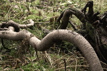 Long And Curvy Tree Root On Fo...