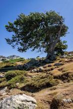 Albero Deformato Dal Vento - Corsica