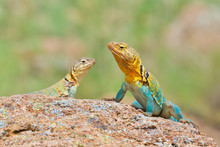 Male And Female Collared Lizards Photographed In Situ In The Wild