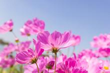 Beautiful Flower Cosmos Bipinnatus Flower In The Garden With Sky Background