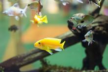 Yellow Fish In The Aquarium Re...