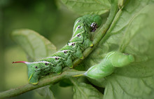 Tomato Hornworms On Tomato Pla...