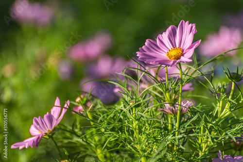 Fototapety, obrazy: Pink Cosmos Flower In The Garden, Beautiful Pink Cosmos Flower With Sunlight On The Garden Background, Pink Cosmos Flower Field
