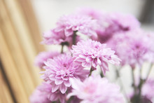 Close Up Of Bunch Flower Pink Chrysanthemum Purple Beautiful / Chrysanthemum Flowers Decoration In A Vase In A Bright Living Room Plant