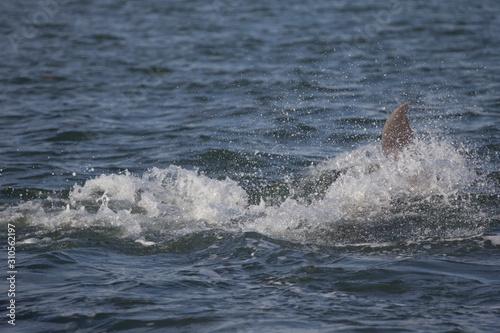 Dolphins, Florida #310562197