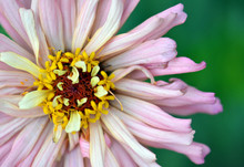 Close Up Of A Pink Zinnia Elegans Flower Petals And Centre. Single Flowered Zinnia With Visible Centre. Popular Garden Annual Plant Of The Daisy Family Asteraceae. Endemic To North And Central America