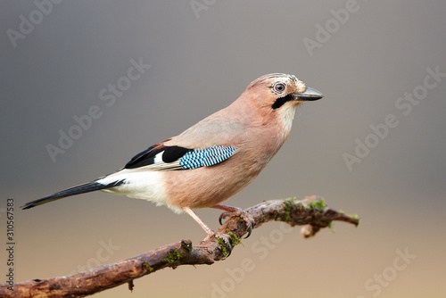 Fotografiet Eurasian jay (Garrulus glandarius) close up