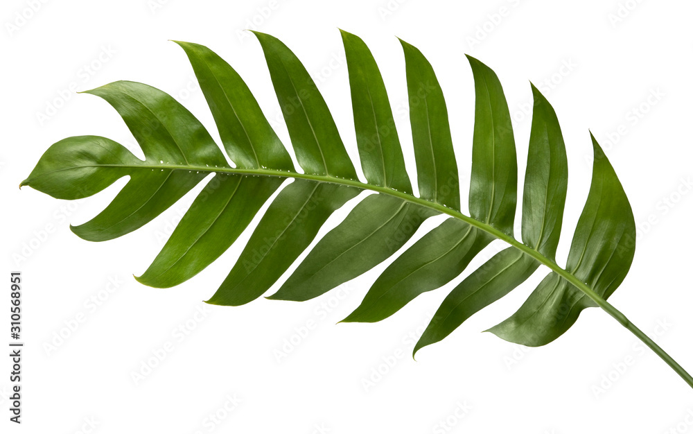 Fototapeta Philodendron leaf(Monstera deliciosa) tropical isolated on white background, with clipping path.