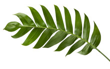 Philodendron Leaf(Monstera Deliciosa) Tropical Isolated On White Background, With Clipping Path.