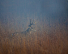 White Tailed Deer In The Fog