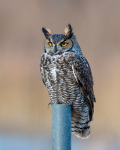 Great Horned Owl Perched On A ...