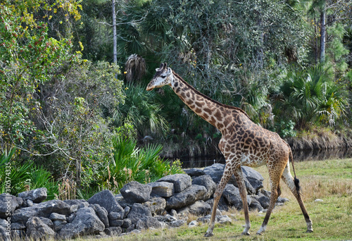 Giraffe Walking Toward Trees In Park in Florida Wallpaper Mural