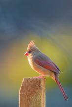 Female Northern Cardinal Sitti...