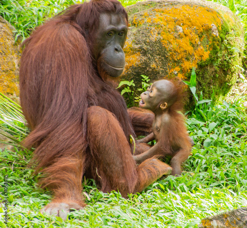 monkey with baby. brown monkey with his little cub. the inhabitants of the jungle. the monkey is smiling. monkey in the zoo Fotomurales