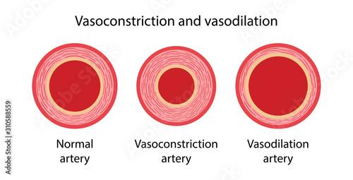 Arterial vasoconstriction and vasodilation Wallpaper Mural