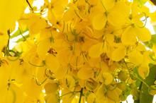 Close Up Yellow Golden Shower ,Cassia Fistula Flower