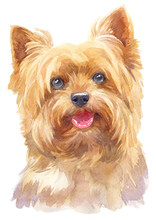 Water Colour Painting Of York Shire Terrier 137