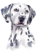 Water Colour Painting Of Dalmatian 152