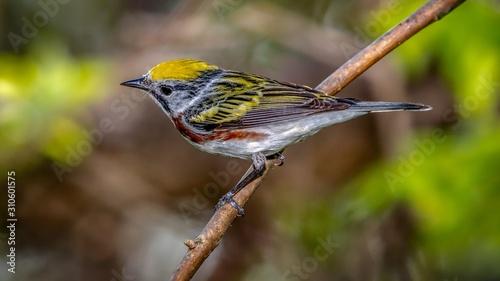 Fotografia Chestnut-sided Warbler