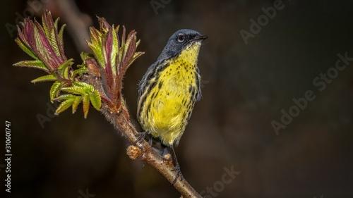 Fotografie, Obraz Kirtland's Warbler