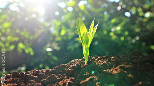Avocado seedlings growing in the morning sunshine Canvas Print