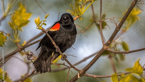 Photo Red Winged Blackbird