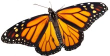 Monarch Butterfly On A White B...