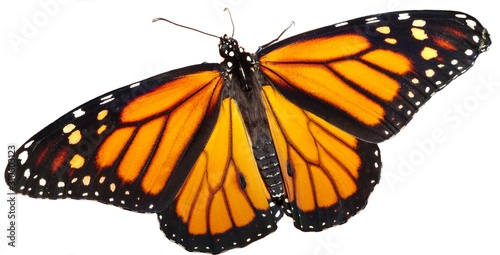 Monarch Butterfly on a White Background Wallpaper Mural