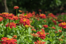 Red Zinnia Flower In Garden Outdoors With Blooming On Beautiful Background