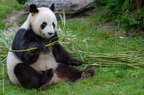 Young giant panda sitting in the grass, portrait Fototapeta
