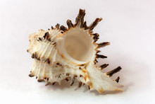 A Murex Mollusc Sea Shell  On ...