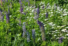 Summer Field With Flowering Da...
