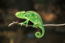 South Asian Chamaeleon, Chamae...
