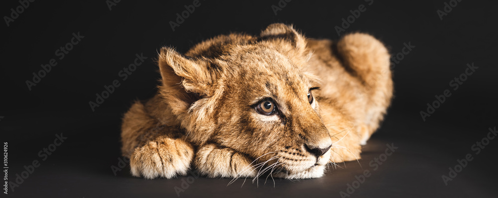 Fototapeta adorable lion cub lying isolated on black, panoramic shot