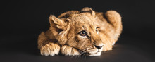 Adorable Lion Cub Lying Isolat...